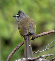 Image of: Pycnonotus flavescens (flavescent bulbul)