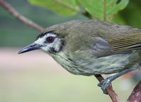 Negros Striped Babbler - Stachyris nigrorum