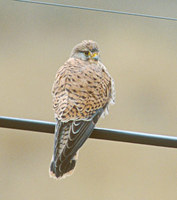 Lesser Kestrel (Falco naumanni) photo