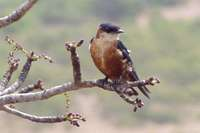 Mosque Swallow - Cecropis senegalensis