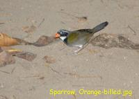 Orange-billed Sparrow (Arremon aurantiirostris)