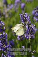 Large White on a lavender blossom , pieris brassicae stock photo