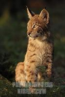 European lynx stock photo