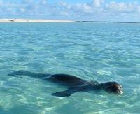 Hawaiian Monk Seal in the water
