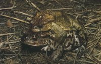 : Bufo bufo bufo; Common Toad