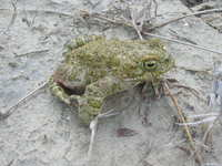 : Bufo variabilis; Variable Toad