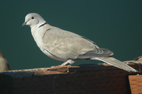 : Streptopelia decaocto; Eurasian Collared-dove