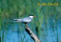 Photo of rybák bahenní, Chlidonias hybridus, Whiskered Tern, Weissbart-seeschwalbe