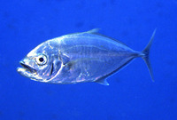 Carangoides plagiotaenia, Barcheek trevally: fisheries, gamefish