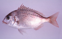 Evynnis japonica, Crimson seabream: fisheries, aquaculture