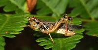 Image of: Melanoplus sanguinipes (migratory grasshopper)