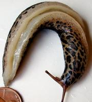 Image of: Limax maximus (giant garden slug)