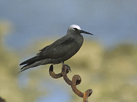 Black Noddy (Anous minutus) photo