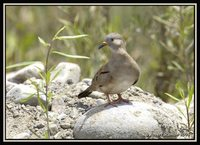 Croaking Ground-Dove - Columbina cruziana
