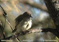Striated Thornbill - Acanthiza lineata