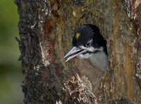 : Picoides arcticus; Black-backed Woodpecker