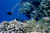 : Pygoplites diacanthus; Regal Angelfish;