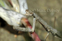 : Hoplocorypha sp.; Naivasha Grass Mantis