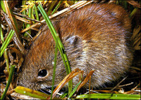 Northern Red-Backed Vole  Clethrionomys rutilis
