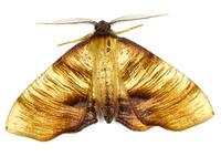 Plagodis dolabraria - Scorched Wing