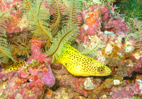 Gymnothorax miliaris, Goldentail moray: fisheries, aquarium