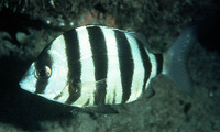 Diplodus cervinus cervinus, Zebra seabream: fisheries, gamefish