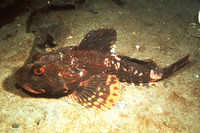Myoxocephalus polyacanthocephalus, Great sculpin: fisheries