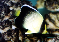 Apolemichthys xanthurus, Yellowtail angelfish: aquarium