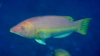Bodianus scrofa, Barred hogfish: fisheries