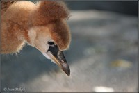 Balearica regulorum - Grey Crowned-Crane