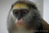 Cercopithecus campbelli - Campbell's Monkey