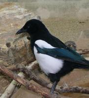 Image of: Pica hudsonia (black-billed magpie)
