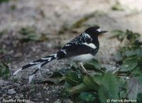 Spotted Forktail - Enicurus maculatus