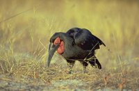 Southern Ground-Hornbill - Bucorvus leadbeateri