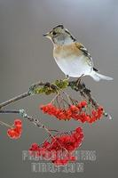...Brambling ( Fringilla montifringilla ) on rowan twig ( Sorbus aucuparia ) with red berries stock