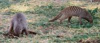 Photograph of two banded mongoose foraging for food