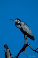 : Ardea melanocephala; Black-headed Heron
