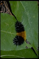 : Halisidota maculata; Yellow-spotted Tiger Moth