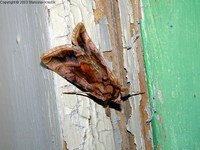Autographa jota - Plain Golden Y