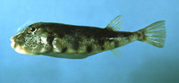 Sphoeroides maculatus, Northern puffer: fisheries, aquarium