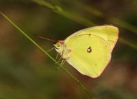 Image of: Colias interior (pink edged sulphur)