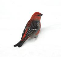 Image of: Pinicola enucleator (pine grosbeak)