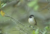 Black-capped Vireo (Vireo atricapillus) photo
