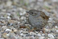 Dunnock (Prunella modularis) photo