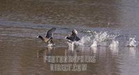 ...The Netherlands , NLD , Burgh Haamstede , 2005 Mar 23 : Two coots ( fulica atra ) running over a