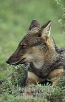 Side striped jackal ( Canis adustus ) , Murchison Falls National Park , Uganda stock photo