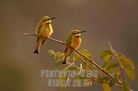 Little Bee eaters on branch stock photo