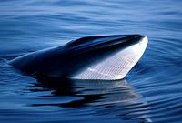 The Northern (or Common) Minke Whale (Balaenoptera acutorostrata)