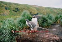 ...FT0123-00: An ability to projectile poop may help to keep the nest area cleaner. Gentoo Penguin.