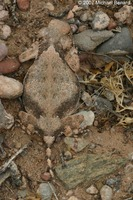 : Phrynosoma modestum; Round Tailed Horned Lizard
